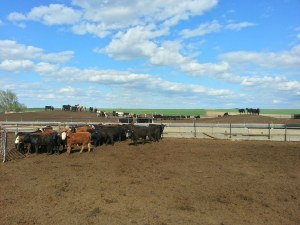 Even cattle on CAFOs are always provided with adequate food and water, something many humans in the world do not have.