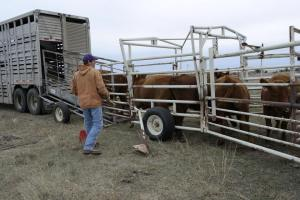 Cattle being loaded into a trailer. They don't particularly like the process, but it is a huge part of the efficiency of the industry.