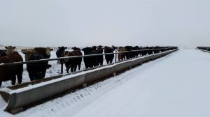 Our cattle eat more in the winter to stay warm. They are provided with wind break and plenty of food.
